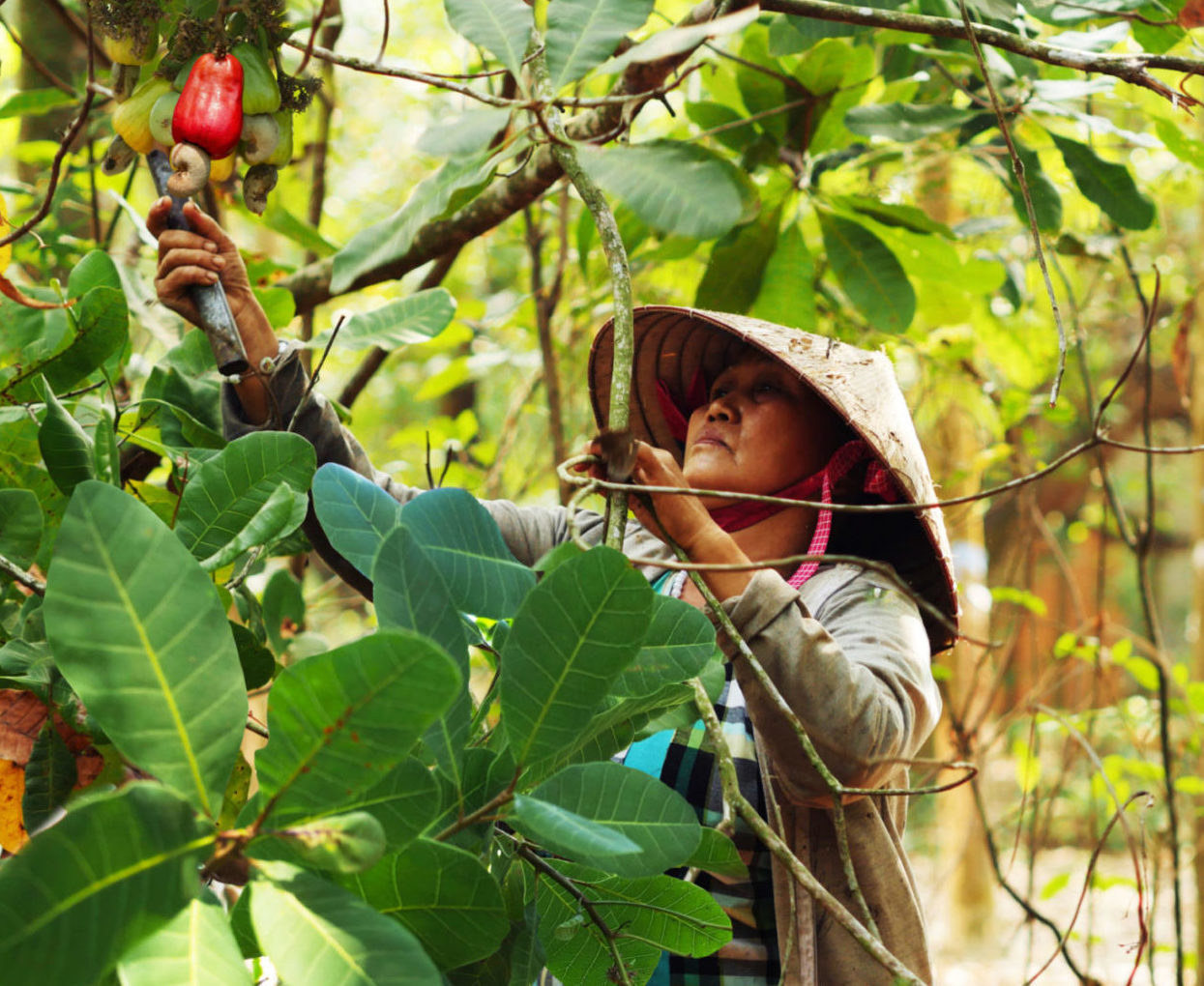 Cashew nuts from Vietnam: certified Fair trade