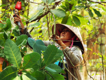 Cashew nuts from Vietnam: certified Fair trade