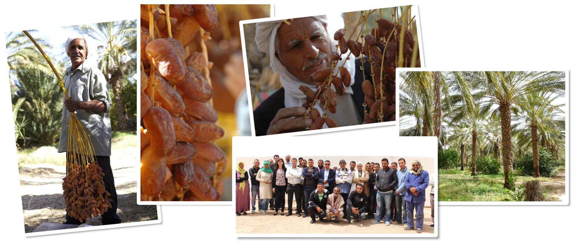 Filière dattes Deglet Nour de Tunisie
